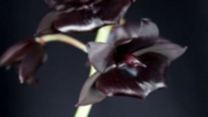 black-orchid-flower