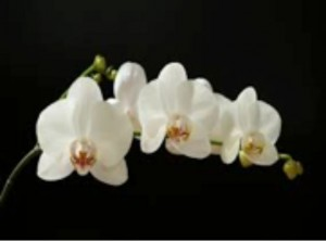 white-orchid-flower
