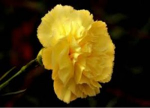 yellow-carnations